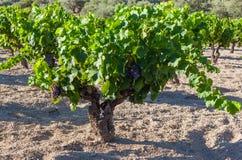 Uvas em um vinhedo, Espanha Fotografia de Stock