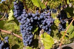 Uvas em uma videira Foto de Stock