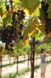 Uvas em uma videira imagens de stock