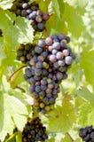 Uvas em uma vinha com fundo de madeira fotografia de stock