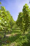Uvas em uma vinha com fundo de madeira imagem de stock royalty free