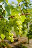 Uvas em uma vinha com fundo de madeira foto de stock