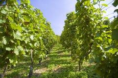 Uvas em uma vinha com fundo de madeira fotos de stock