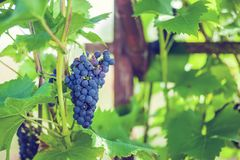 Uvas en el jardín Fotos de archivo