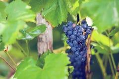 Uvas en el jardín Foto de archivo libre de regalías