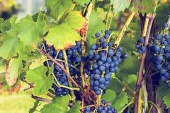 Uvas en el jardín Fotografía de archivo
