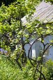 Uvas en el jard?n vid Uvas jovenes Primavera foto de archivo libre de regalías