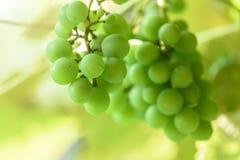 Uvas en el sol Fotos de archivo