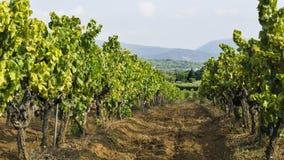 Uvas en el viñedo Fotografía de archivo