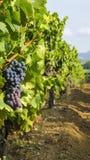 Uvas en el viñedo Foto de archivo libre de regalías