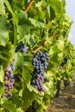 Uvas en el viñedo Foto de archivo