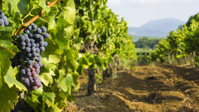 Uvas en el viñedo Imágenes de archivo libres de regalías