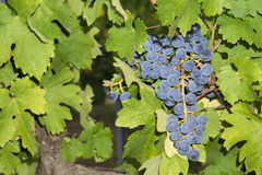 Uvas en el viñedo imagen de archivo
