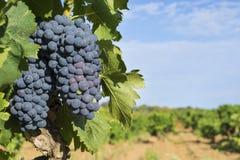 Uvas en el viñedo Fotografía de archivo libre de regalías