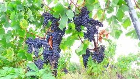 Uvas en el viñedo almacen de video