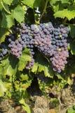 Uvas en el viñedo en Francia fotos de archivo