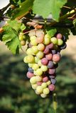 uvas en el wineyard Imagen de archivo libre de regalías
