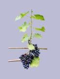 Uvas en la acción de la vid Fotos de archivo