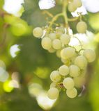 Uvas en la naturaleza imagen de archivo libre de regalías