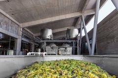 Uvas en la planta del viñedo Imagen de archivo libre de regalías