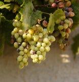 Uvas en la vid Fotografía de archivo libre de regalías
