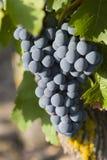 Uvas en la vid Imagen de archivo