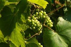 uvas en la vid Foto de archivo libre de regalías