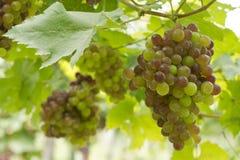 Uvas en la vid Imagen de archivo libre de regalías
