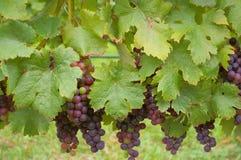 Uvas en la vid Fotos de archivo