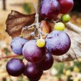 Uvas en la vid fotografía de archivo