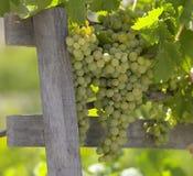 Uvas en la vid - Chile Imagen de archivo libre de regalías