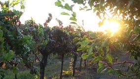 Uvas en la vid en la puesta del sol almacen de metraje de vídeo