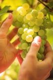 Uvas en las manos Foto de archivo