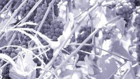 Uvas en los cajones, opinión del primer