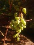 Uvas en nuestro jardín Fotografía de archivo