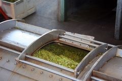 Uvas en prensa de vino Foto de archivo libre de regalías