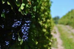 Uvas en un viñedo Imagen de archivo libre de regalías