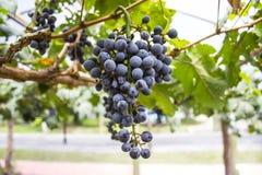Uvas en un viñedo por la mañana Foto de archivo libre de regalías