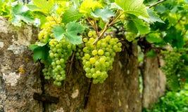 Uvas en una pared vieja en un pueblo inglés del país imagenes de archivo