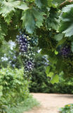Uvas en viñedo Fotos de archivo