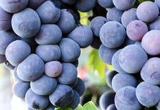 Uvas en viñedo Imágenes de archivo libres de regalías
