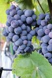 Uvas en viñedo Imagenes de archivo