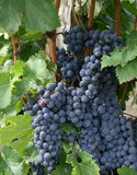 Uvas en viñedo cerca de St. Emelion, Francia Fotografía de archivo libre de regalías