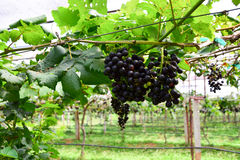 Uvas en viñedo con las hojas verdes Imagen de archivo libre de regalías