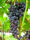 Uvas en viñedo del merlot   foto de archivo libre de regalías