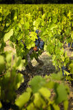Uvas en viñedos antes de la cosecha Fotografía de archivo