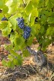 Uvas en viñedos antes de la cosecha Foto de archivo libre de regalías