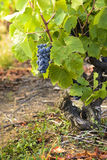 Uvas en viñedos antes de la cosecha Imagenes de archivo