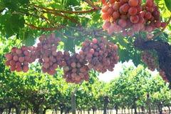 Uvas en yarda de la vid Foto de archivo libre de regalías