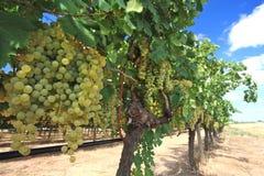 Uvas en yarda del vino Imagen de archivo libre de regalías